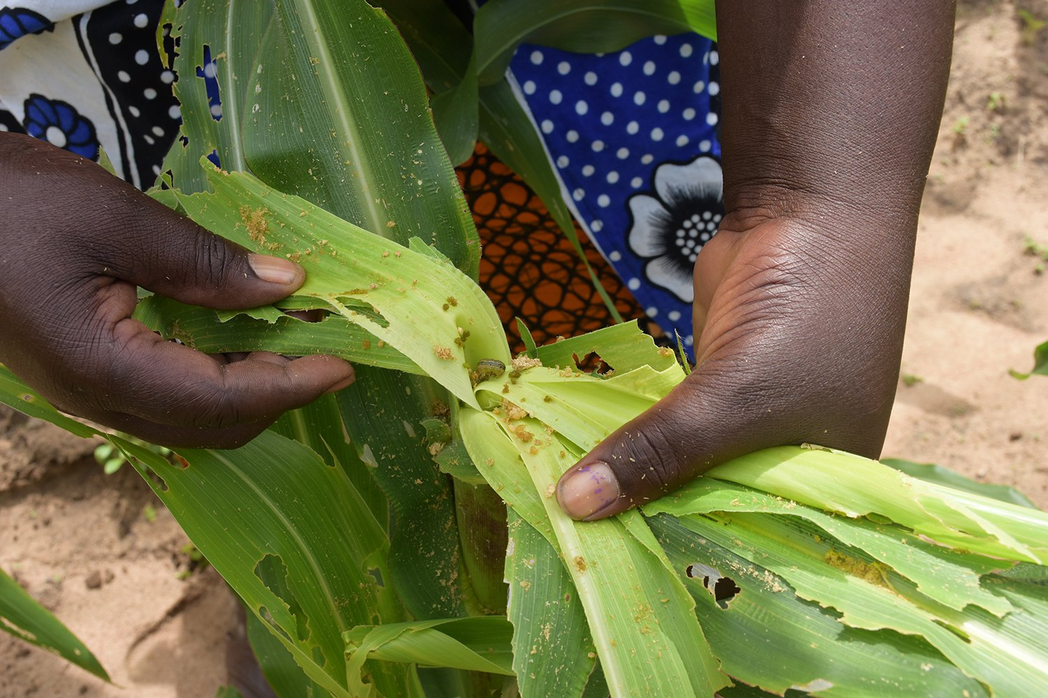 Fall Armyworm, One Acre Fund Tanzania